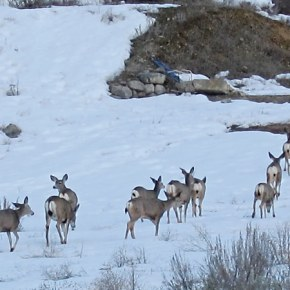 Mule Deer. Photo by Don Nelson