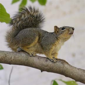 WDFW asks for input on status of western gray squirrels in the Methow