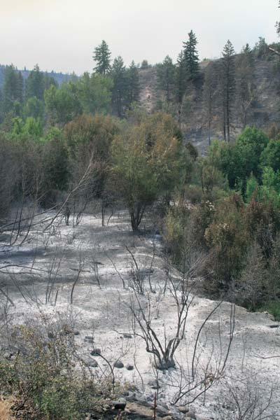 Even the moist, riparian area next to Libby Creek was scorched by the intense heat of the fire last Thursday and Friday. Firefighters were still focusing on controlling an active, unstable situation in the Libby Creek drainage this week. Photo by Marcy Stamper