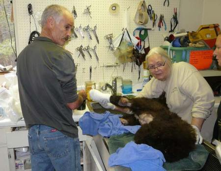 Veterinarian Kevin Willitts, left, and Tom Millham of Lake Tahoe Wildlife Care Inc. begin treatment of Cinder shortly after her arrival at the facility on Aug. 4. Photo courtesy of Lake Tahoe Wildlife Care