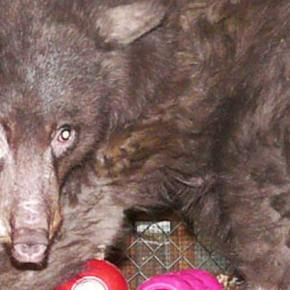 Cinder the bear on way to Idaho for more rehab and recovery from burns