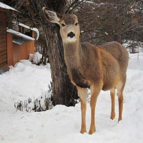 This one-earred deer showed up on Castle Avenue in  Winthrop last weekend looking for food. As it was able to stand on its hind legs to reach for tree branches above, the loss of an ear seemed to be its only noteworthy injury. Photo by Don Nelson