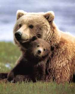 """Photo courtesy of Joe Scott, Conservation NorthwestConservationists characterize the grizzly's plight as """"dire."""""""