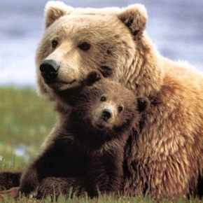 Statewide survey finds strong support for grizzlies returning to N. Cascades