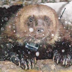 Latest wolverine capture adds to insights about behavior