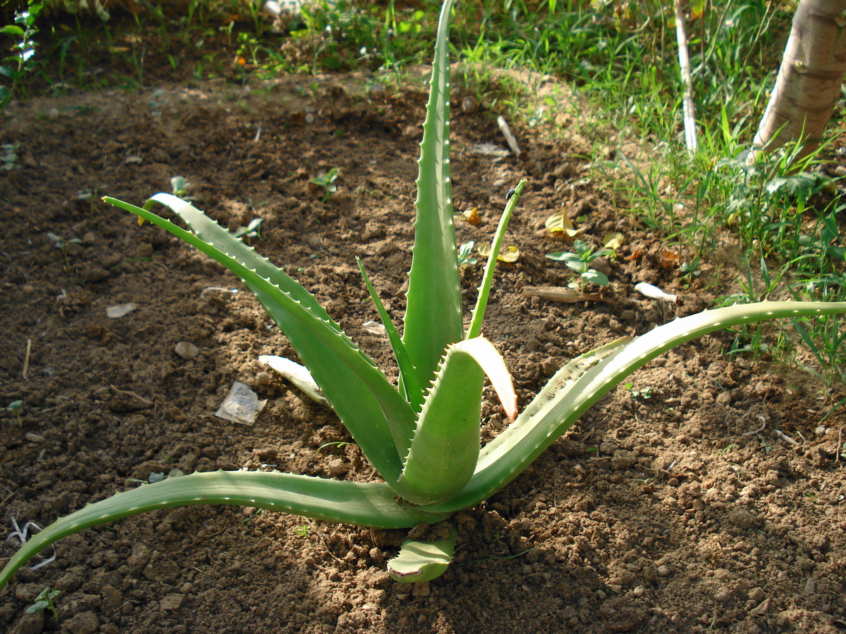 Aleo Vera Know Your Herbs Aloe Vera And 50 Different Applications
