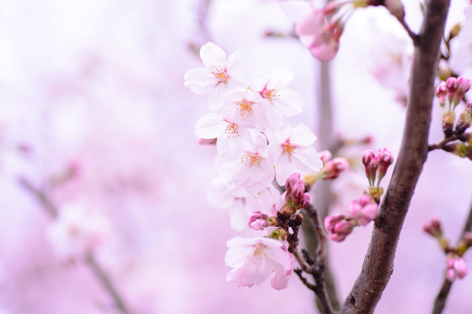 Cherry Blossom Wallpaper Hd Lente Achtergronden Voor Je Pc Mevrouwmiauw Nl