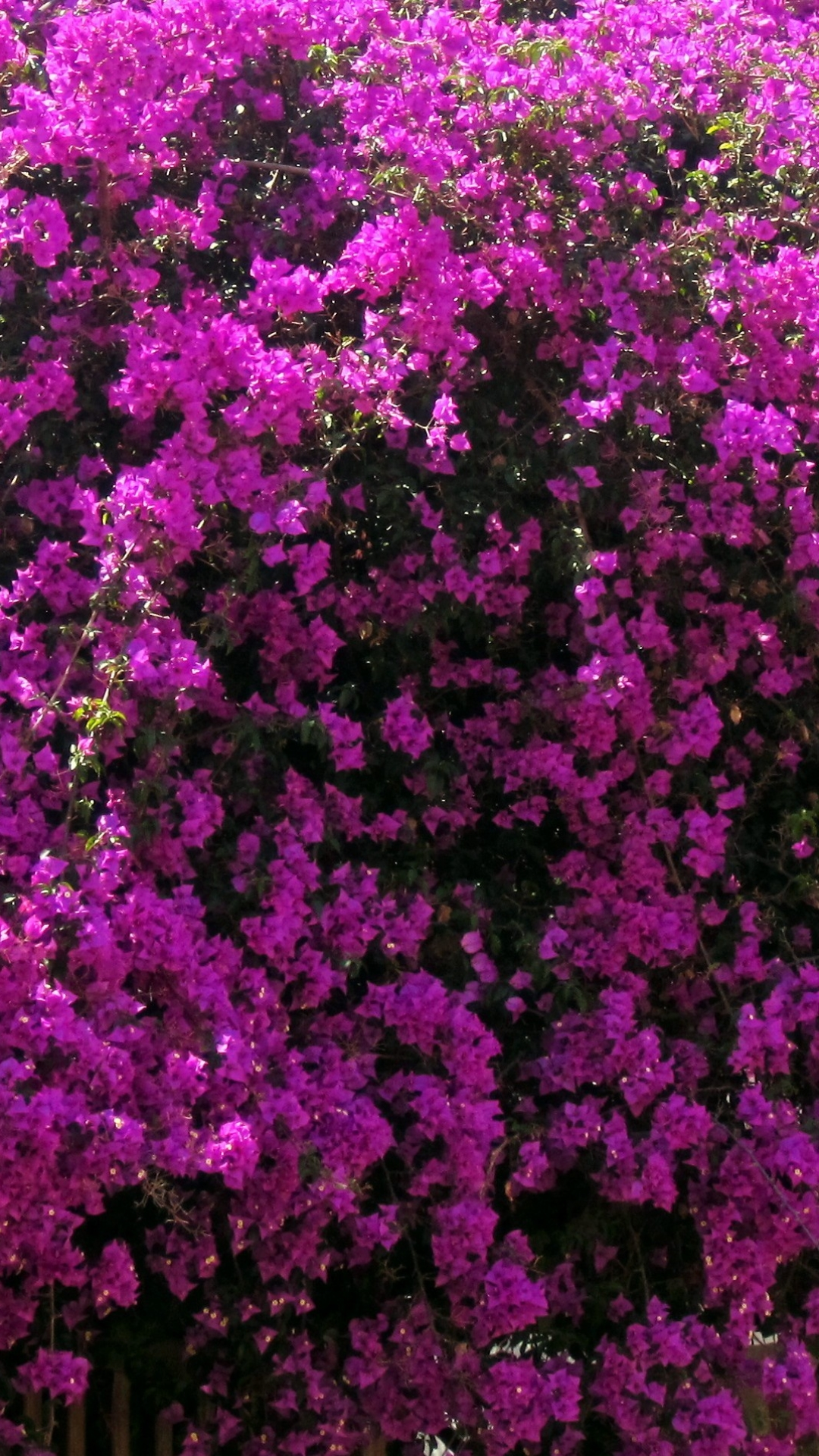 Bougainvillea Wallpaper Earth Bougainvillea 1080x1920 Wallpaper Id 709651 Mobile Abyss