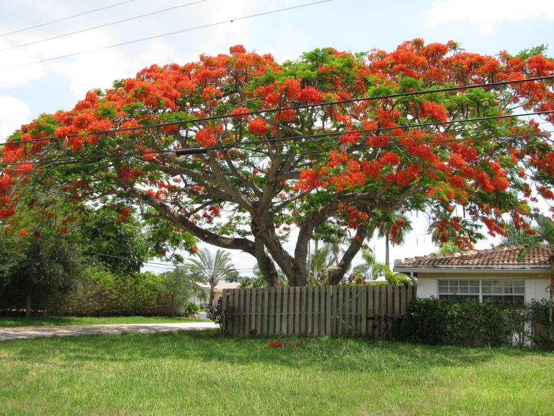 Large Of Royal Poinciana Tree