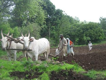 Summer Groundnut Cultivation In Maharashtra