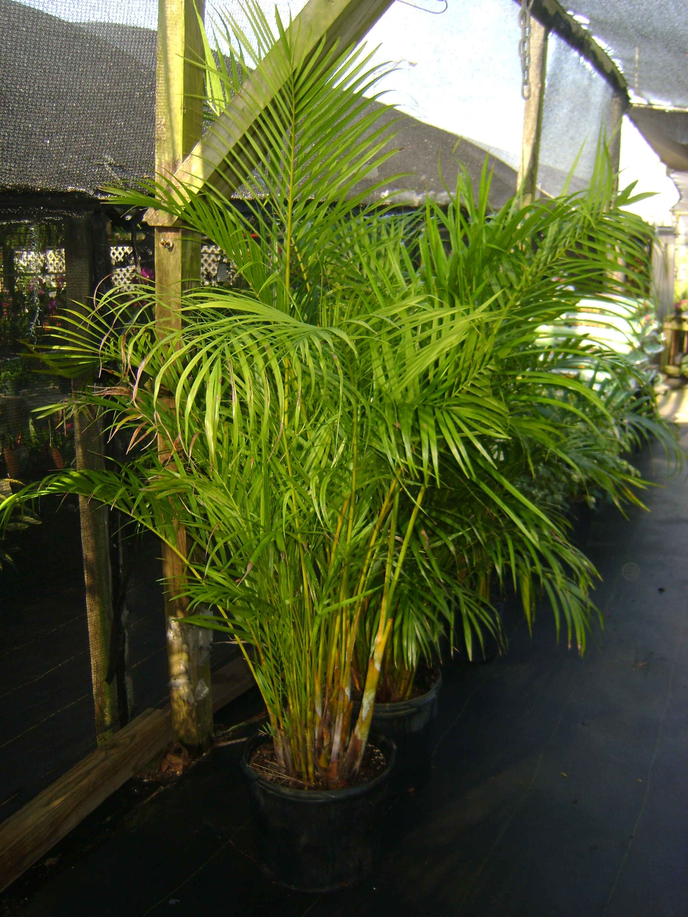Butterfly Palm Madagascar Palm Areca Palm Chrysalidocarpus Buy Areca Palm Trees In Miami Ft Lauderdale Kendall