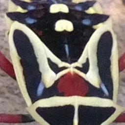 Photo of the week - Chinche bug
