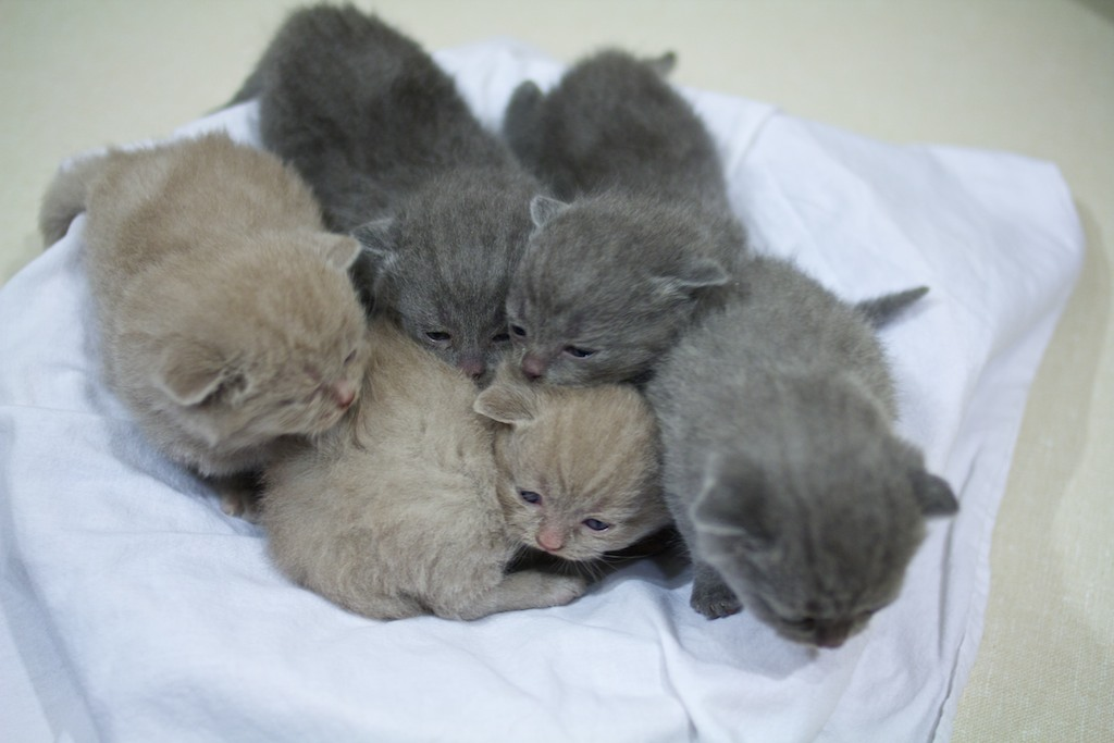 "Newborn Babies And Cats ""the Tails Of Two Kitties"" … The British Shorthair And"