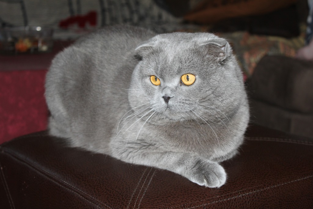 "Douche Kitten ""the Tails Of Two Kitties"" … The British Shorthair And"