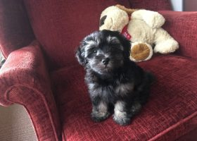 maltipoo pups for sale florida michelines pups