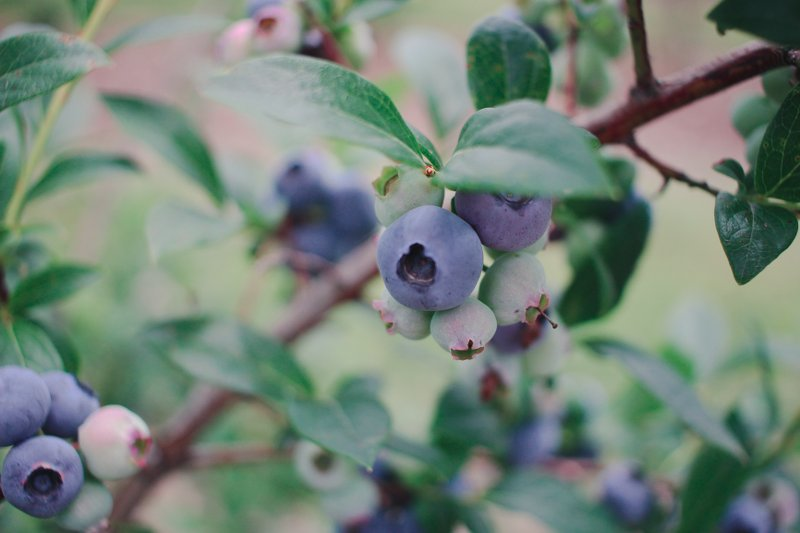 Blueberry picking blueberries on a branch