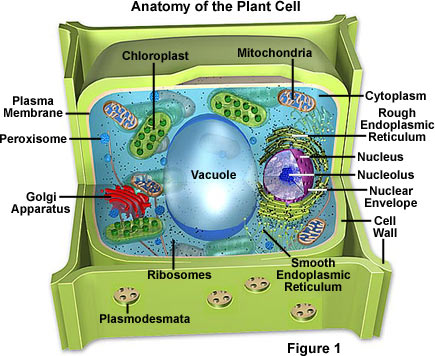 Molecular Expressions Cell Biology Plant Cell Structure