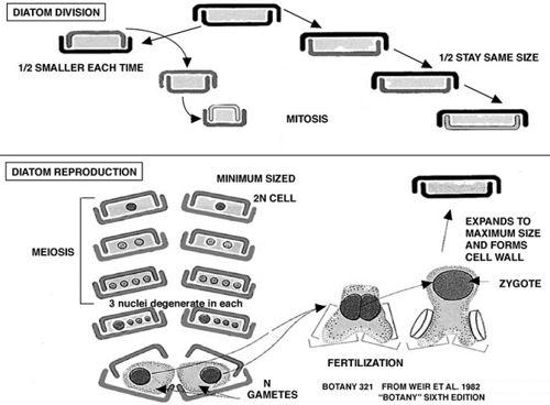 Bacillariophyta - microbewiki