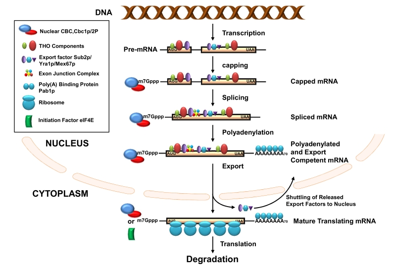 Figure 1 Transcription and mRNA degradation are integrated