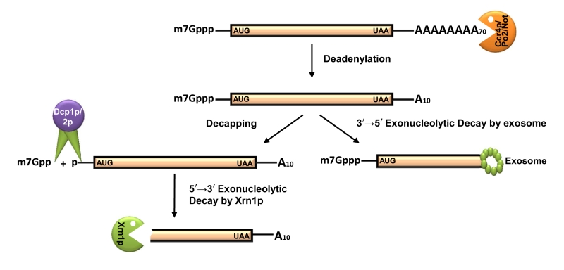 Figure 2 Transcription and mRNA degradation are integrated