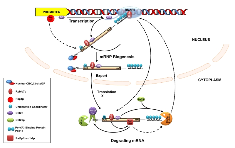 Figure 3 Transcription and mRNA degradation are integrated