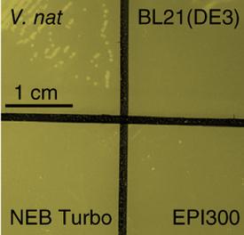 Vibrio natriegens as the new E. coli?