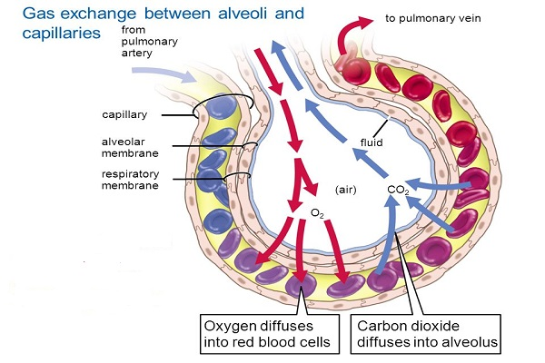 Mechanism of Respiration in Human - Microbiology Notes