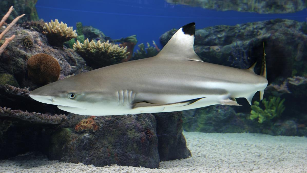 Animated Fish Tank Wallpaper Sharks Of The Tropical Pacific Mcc