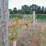 Adjacent vines not treated with KDL