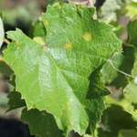 Downy Mildew in Grapes – Secrets of Disease Management