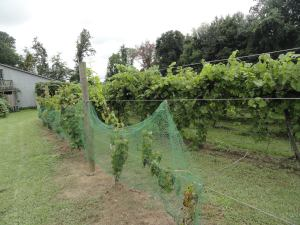 Zweigelt grapevines at Buccia Vineyard (courtesy Joanna Buccia)