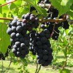 Tom Plocher's New Grapes Are Spreading