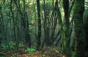 Under the canopy - low, small trees, but it's cool, wet and moss-covered. Canary Islands
