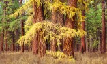 Larch Trees and Ponderosa Trees