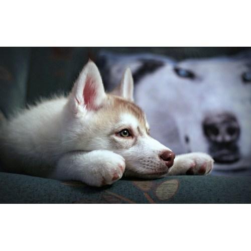 Medium Crop Of Cute Husky Puppy