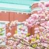 造幣局の桜の時期は?お弁当やランチが食べられる場所ってある?