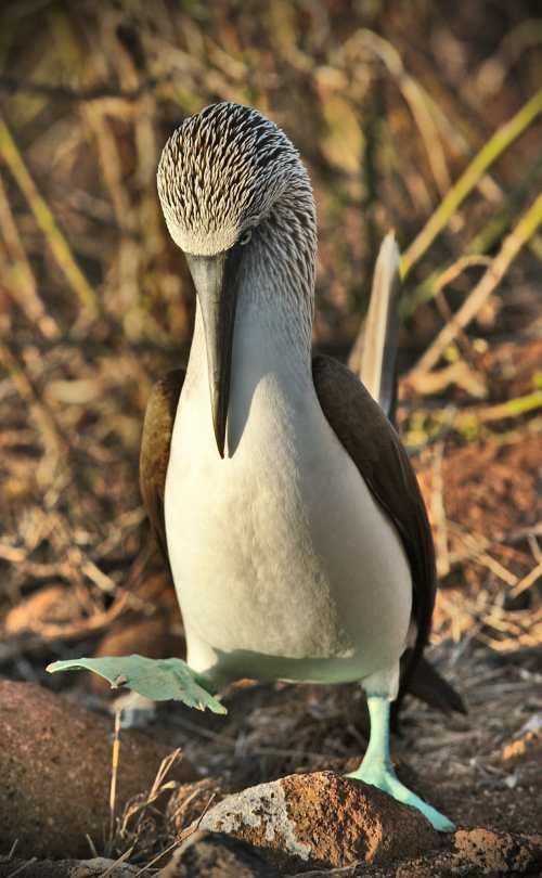 A Dancing Blue-footed Booby showing off his stunning blue feet