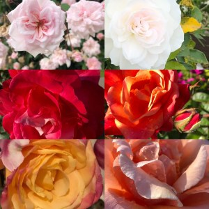 symbols, roses, meaning of roses, the100dayproject, ultimate blog challenge