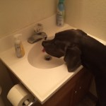 Denver can drink out of the bathroom sink, a normal bathroom sink even not my tiny one.