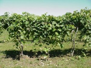 Lessons From The Bible Found on The Farm: The Vine