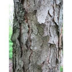 Small Crop Of Cherry Tree Bark