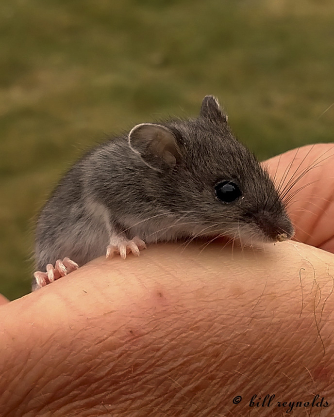 prairie deer mouse (Peromyscus maniculatus bairdii) - a young Deer - video consent form