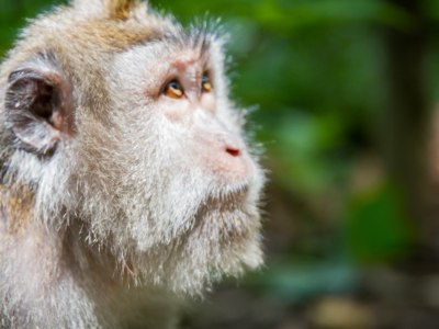 Monkey looks to Heaven at Sacred Monkey Forest Ubud Indonesia