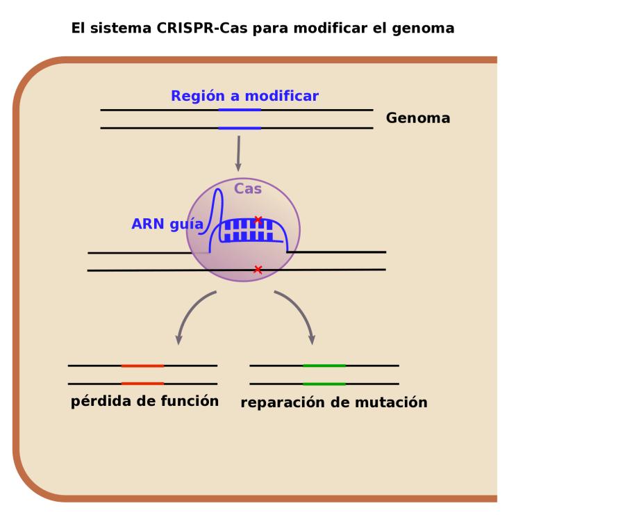 El sistema CRISPR-Caso en el laboratorio puede utilizarse para provocar mutaciones o repararlas.