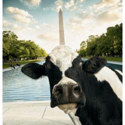 Chick Fil A Cow Calendar