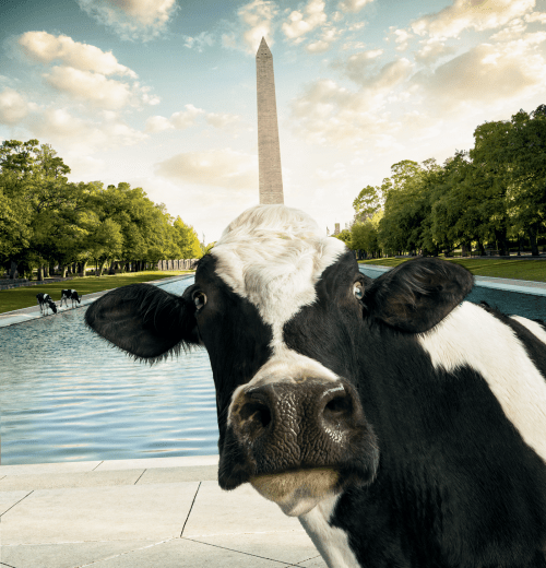 Medium Of Chick Fil A Cow Calendar