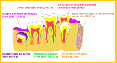 Stem Cell Tooth Regeneration Cost