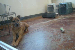 A dog in the SPCA seeking new home (M.N.K)
