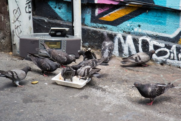 Pigeons eat the rest of the food from a food tray.