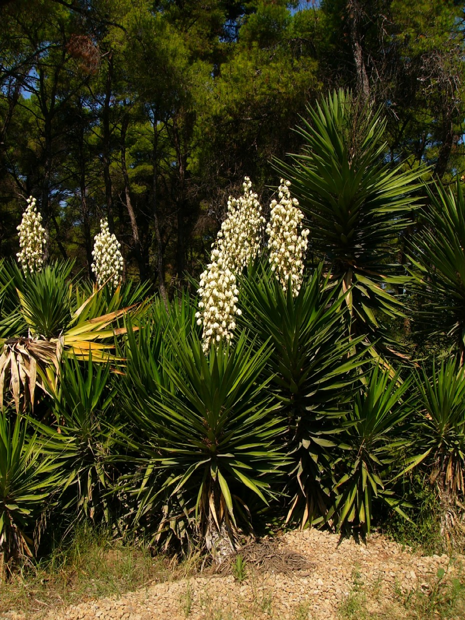 Agave Frucht Yucca